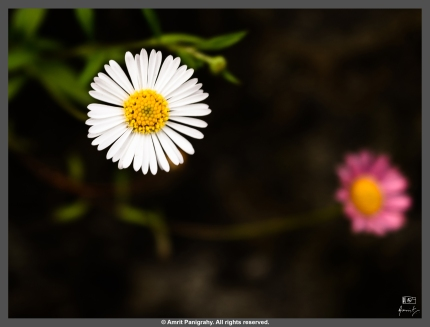 Flower of the Swaying Himalayan Aster (Botanical name – Aster Molliusculus), a perennial herb found in the Himalayas, at altitudes of 1,800-3,000m above mean sea level. This one was on the banks of Bhagirathi (river Ganga as she is known before reaching Dev Prayag), on the way back from Gangotri, Uttarakhand, India.